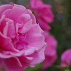 ¿En qué tipo de clima crecen las rosas?