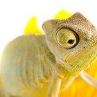 Información sobre camaleones para niños