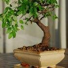 Como fazer um bonsai crescer mais rápido