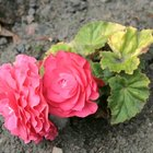 Are begonias poisonous for dogs?