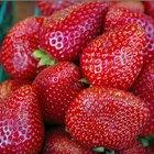 ¿Cómo se reproducen las plantas de fresa?
