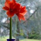 Cuidado y alimentación de la planta Amaryllis