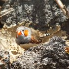 How to keep zebra finches from fighting