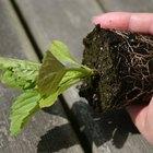 Vantagens e desvantagens da semeadura indireta