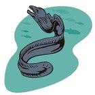 Cómo comer anguila
