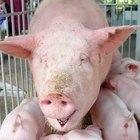 Possíveis causas de tosse em porcos