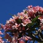 Crescimento das mudas de rosa-do-deserto