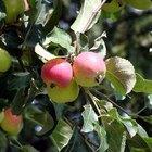 Características de los árboles de manzana