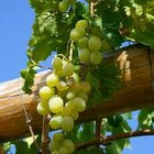 ¿Cuánto espacio necesitan las plantas de vid de uva?
