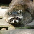 Repelente para mapaches casero
