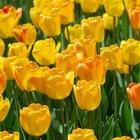 El significado de los tulipanes azules