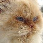 Himalayan Persian Cat Colors