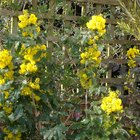 How to Transplant Mahonia