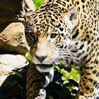 Physical characteristics of the jaguar cat