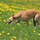 The Best Dry Food for Retired Greyhounds