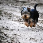 How Can I Tell the Age of My Yorkshire Terrier?
