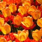 Cómo mantener los tulipanes frescos