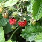 Enfermedades de las plantas de frutilla