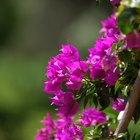 ¿Cómo hacer un montante o árbol de buganvilia?