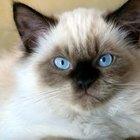 Saúde felina: o câncer de estômago