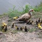 ¿Cómo criar patos y pollos?