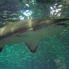 ¿Cómo respiran los tiburones?