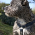 Behavior of a Cairn Terrier
