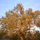 Cómo plantar semillas de mezquite