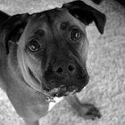 Síntomas y signos de la preñez en perros Boxer