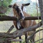 Como usar Ivermectina injetável e dose para cabras