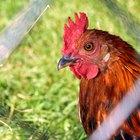 Infección ocular en gallinas