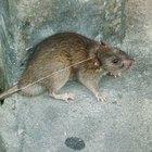 Remoção de fezes de ratos