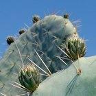 Cómo cuidar un cactus de interior