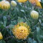How to Dry Protea
