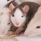 How to identify infant mice & rats