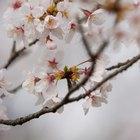 ¿Cuál es el significado de las flores del cerezo?