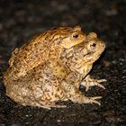 How to Tell the Difference Between Frog & Toad Tadpoles