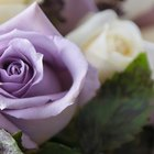 What Do Purple Roses Mean?