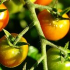 Fertilizante natural para las plantas de tomate
