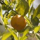 Pasos a seguir para cuidar un naranjo desde semilla