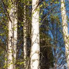 How to Kill Birch Trees With Copper Nails