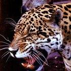 Cadena alimenticia de los animales en el bosque tropical