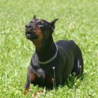 Seborrhea in a Doberman