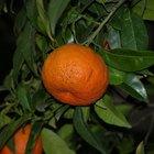 Como plantar uma semente de tangerina