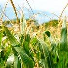Qual é a diferença entre o processo de germinação do feijão e do milho?