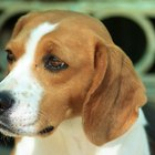 Behavior Traits of a Beagle