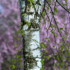 Why Plant Birch Trees in Threes?