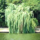 What Kind of Bugs Attack Weeping Willow Trees?