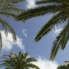 Manchas fúngicas em folhas de palmeiras