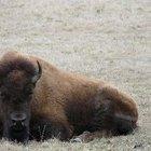 Por qué casi se extinguen los bisontes